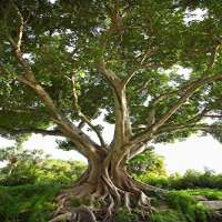 Bodhi Tree Manufacturers
