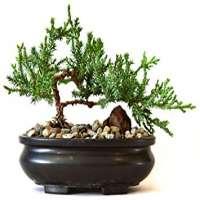 Bonsai Plants Manufacturers