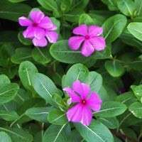 Vinca Rosea Leaves Manufacturers