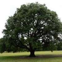 Oak Trees Manufacturers