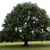Oak Trees Manufacturers