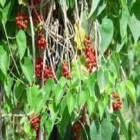 Tinospora Cordifolia Manufacturers