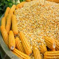 Maize Importers