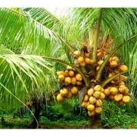Coconut Plants Manufacturers