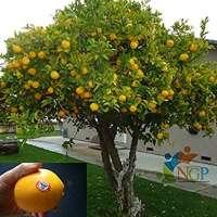 Lemon Tree Manufacturers
