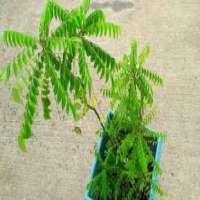 Ayurvedic Plant Manufacturers