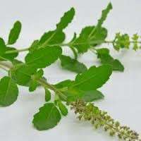 Ocimum Tenuiflorum Leaves Manufacturers