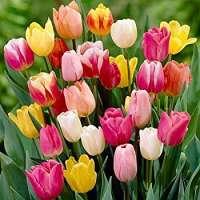 Tulip Flower Manufacturers