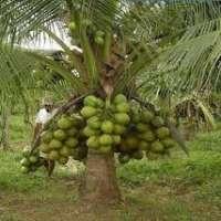 Hybrid Coconut Plant Manufacturers