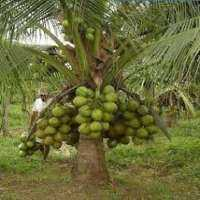 Hybrid Coconut Plant Manufacturers