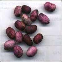 Jamun种子 制造商