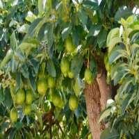Avocado Plant Manufacturers