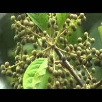 Embelia Ribes Manufacturers