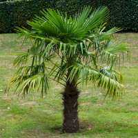 Palm Trees Manufacturers