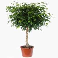 Ficus Benjamina Plant Manufacturers