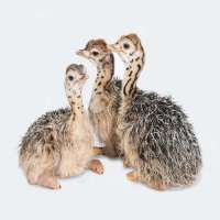 Ostrich chicks Importers