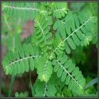 Phyllanthus Niruri Manufacturers