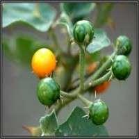 Solanum Xanthocarpum Manufacturers