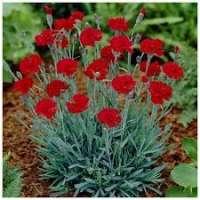 Carnation Plants Manufacturers