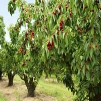 Cherry Trees Manufacturers