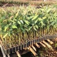 Eucalyptus Clone Plants Manufacturers