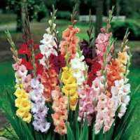 Gladiolus Bulbs Manufacturers