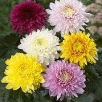 Chrysanthemum Flowers Manufacturers