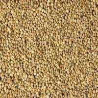 簇豆种子 制造商
