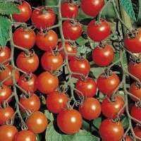 有机番茄种子 制造商