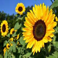 Sunflower Manufacturers