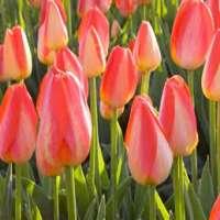 Flower Bulbs Manufacturers
