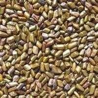 芦荟维拉种子 制造商