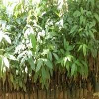 Mahogany Plants Manufacturers