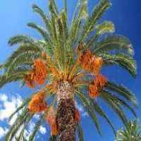 Date Palm Trees Manufacturers