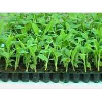 Turmeric Tissue Culture Plants Manufacturers