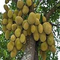 Jackfruit Plant Manufacturers