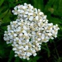 Achillea Millefolium Manufacturers