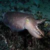 Cuttlefish Manufacturers