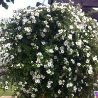 Jasmine Plants Manufacturers