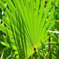 Saw Palmetto Manufacturers