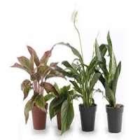 Indoor Plants Manufacturers
