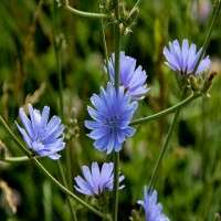 Chicory Manufacturers