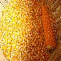 玉米种子 制造商