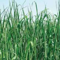 Sudan Grass Manufacturers