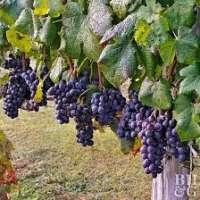 Grape Plant Manufacturers