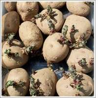 Seed Potatoes Manufacturers