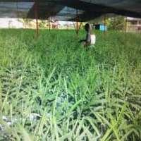 Tissue Cultured Plant Manufacturers