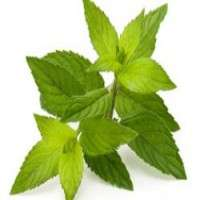 Green Tea Leaves Importers