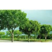 Mahogany Trees Manufacturers