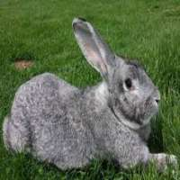 Flemish Giant Rabbit Manufacturers